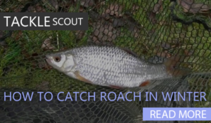 How to catch roach in winter