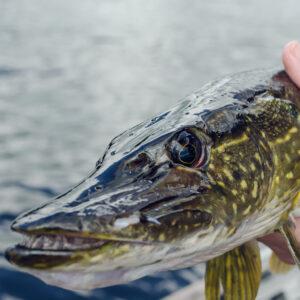 pike fishing tips
